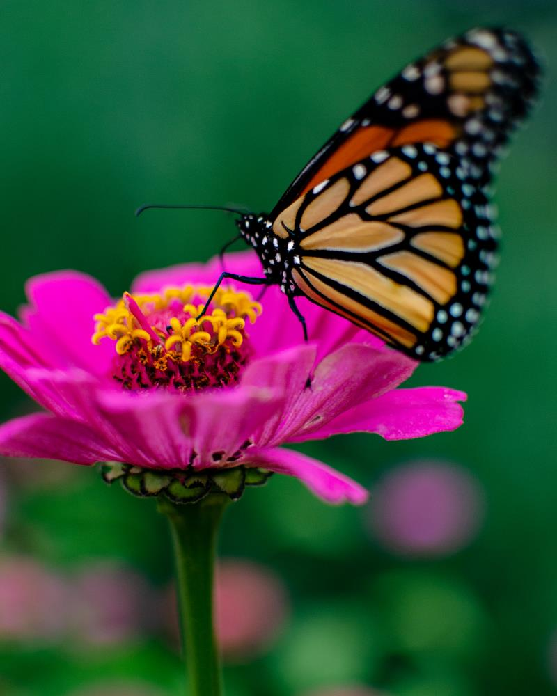 Butterfly on Flower | Blackhat Photography