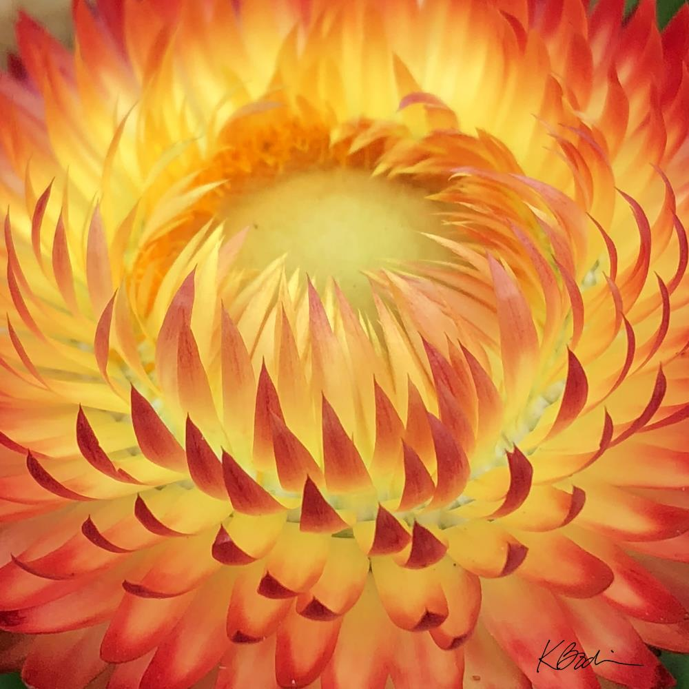 Glowing Strawflower | Sisters Too Studio
