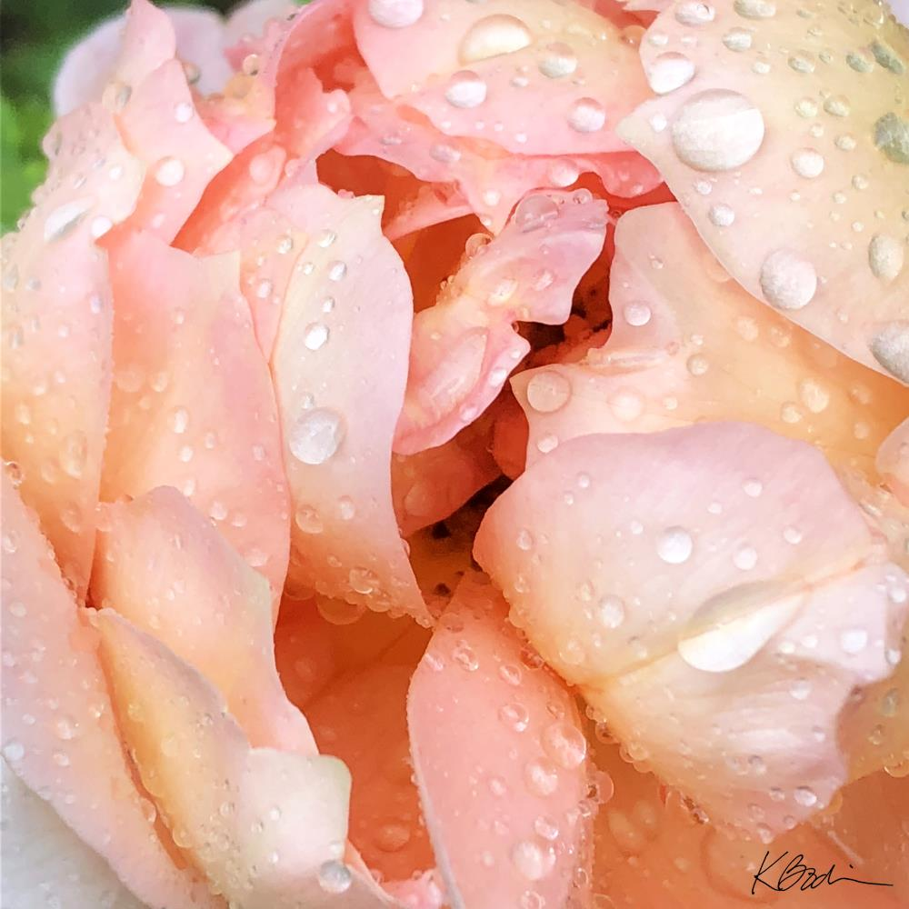 Coral Rose with Raindrops | Sisters Too Studio