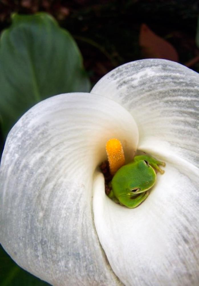 Frogcallalily | Gail Suberbielle Photogra...