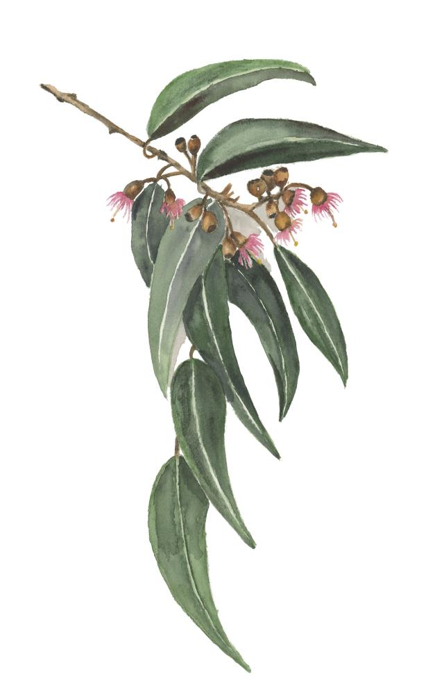 Blooming Eucalyptus | What a color by Noemi