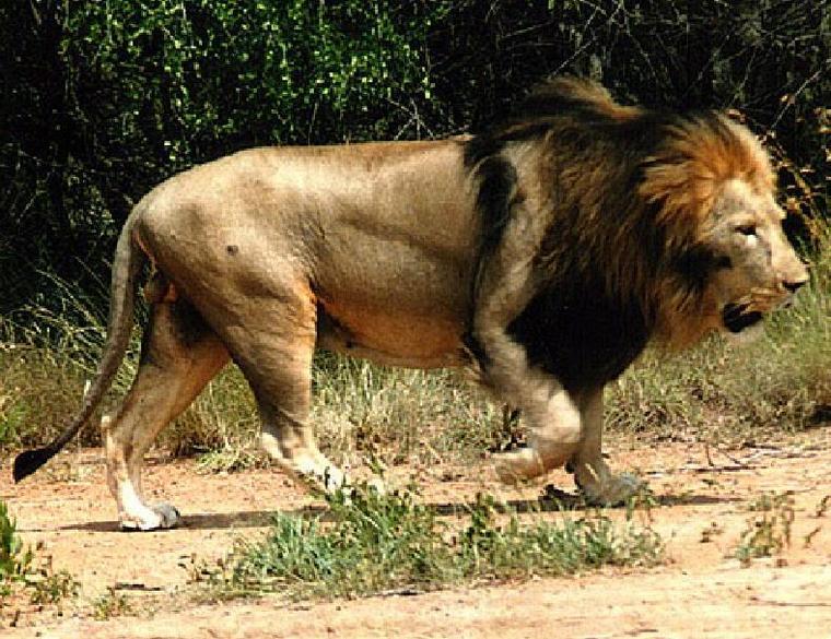 More pics of wild BIG lions - Animal vs Animal