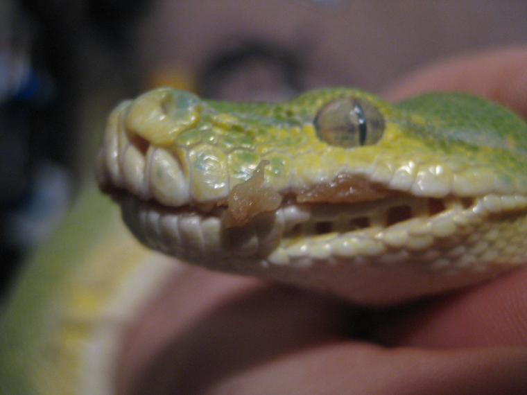 Mouth Rot In Reptiles 80