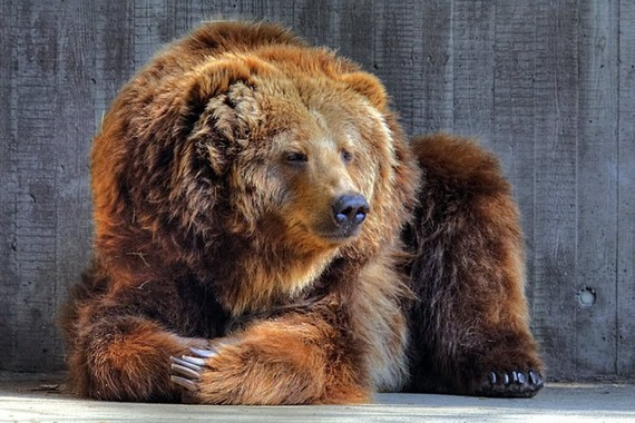 Grizzly ( brown bear ) Size - Animal vs Animal