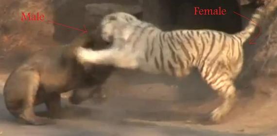 7199af025b3 White Tiger vs Lion on youtube - Page 3 - Animal vs Animal