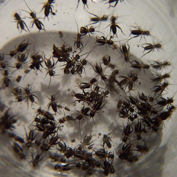 Baby field crickets are hatching - The Ant Farm and ...