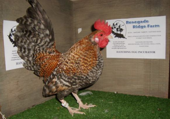 My Old English Game Bantam Roosters - The Breed