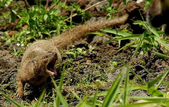 European polecat vs Small indian mongoose - Animal vs Animal