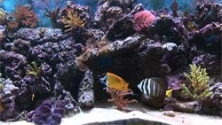 Wide shot of a saltwater video aquarium (colorful coral)