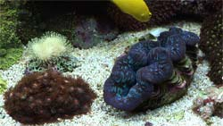 Close-up of a saltwater aquarium (clam)