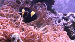 Clownfish in an anemone, saltwater aquarium