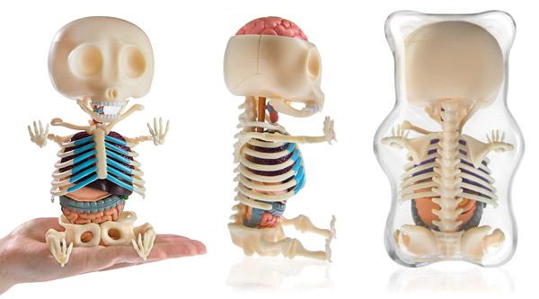 Bear skeleton anatomy