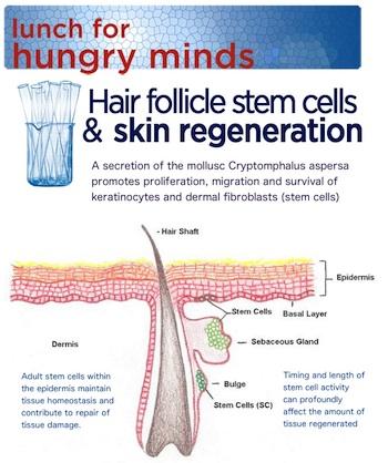 hair-follicle-stem-cells-and-skin-regeneration