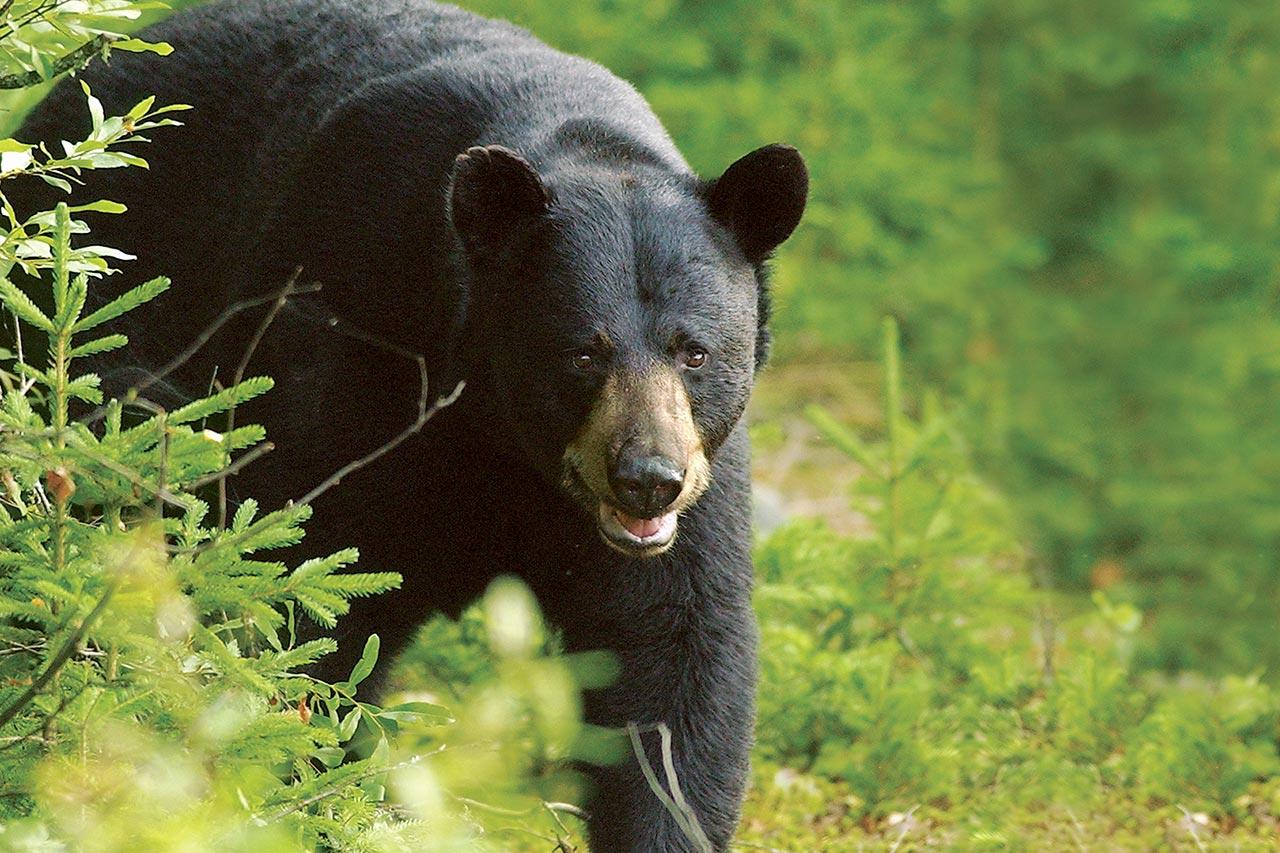 s jour de chasse l 39 ours noir au qu bec s paq. Black Bedroom Furniture Sets. Home Design Ideas