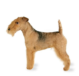 Lakeland Terrier Weight Welcome to EHR