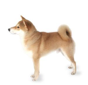 Http Dogtime Com Dog Breeds Shiba Inu