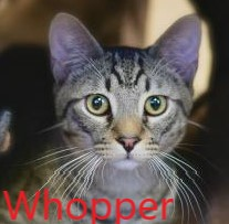 Whopper potw cat 5.20.20