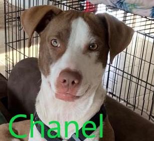Chanel potw dog 10.20.21