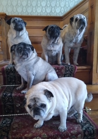 Palmer House Pugs