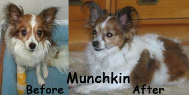 before-after_munchkin