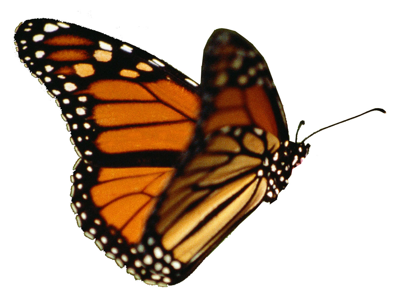 Butterfly no legs