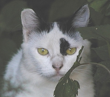 Feral cat with a tell-tale ear tip