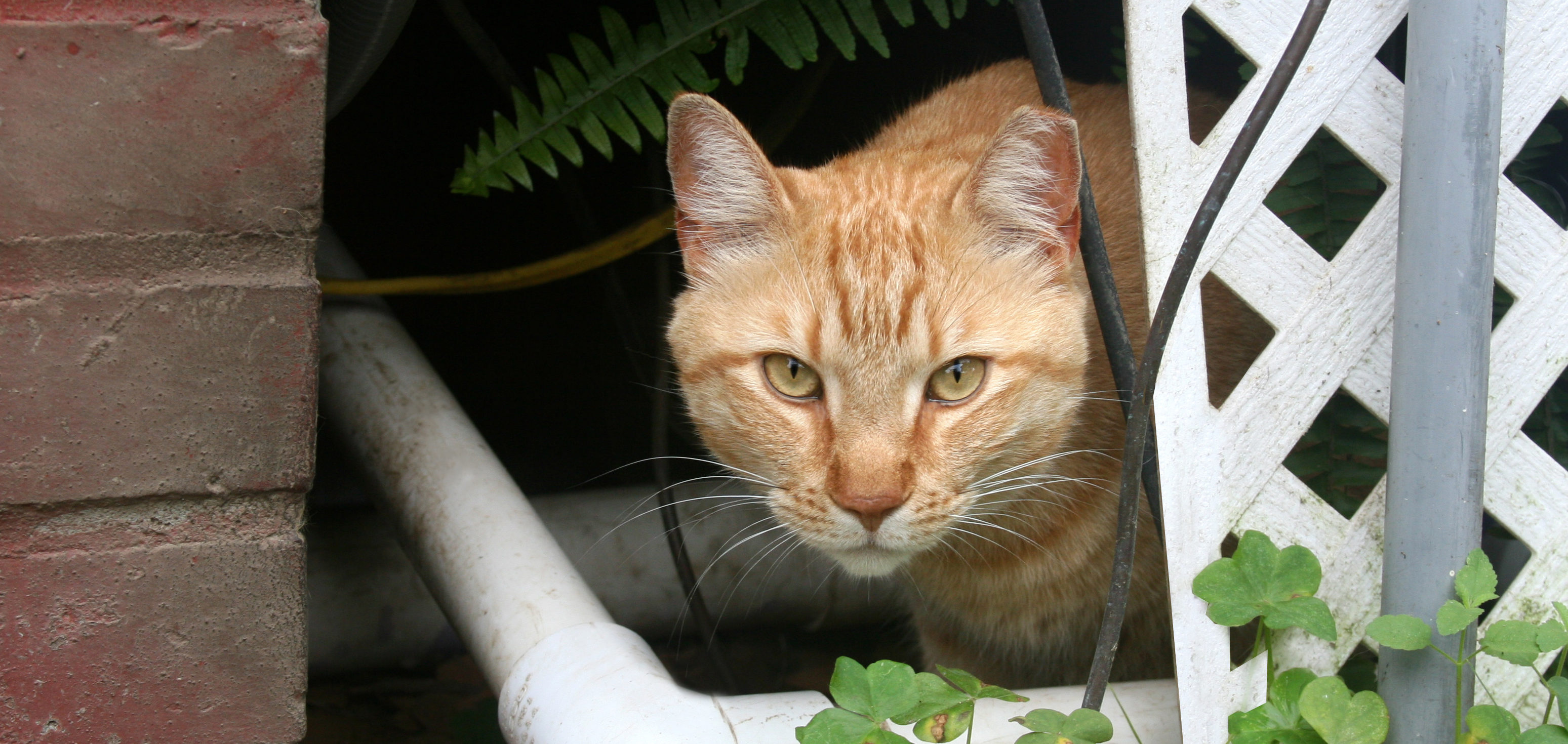 Working Cat with Ear Tip. This is an orange tabby looking at the camera from his hiding spot under a porch.