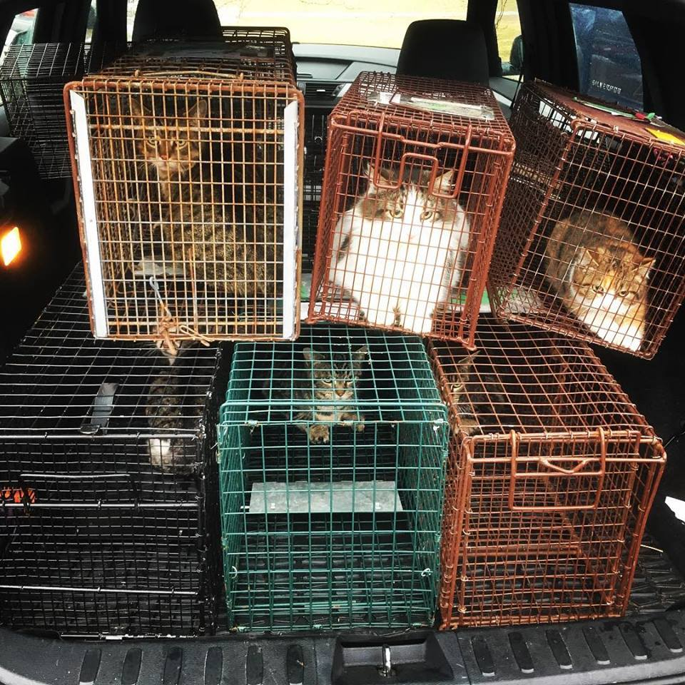 Feral cats in traps