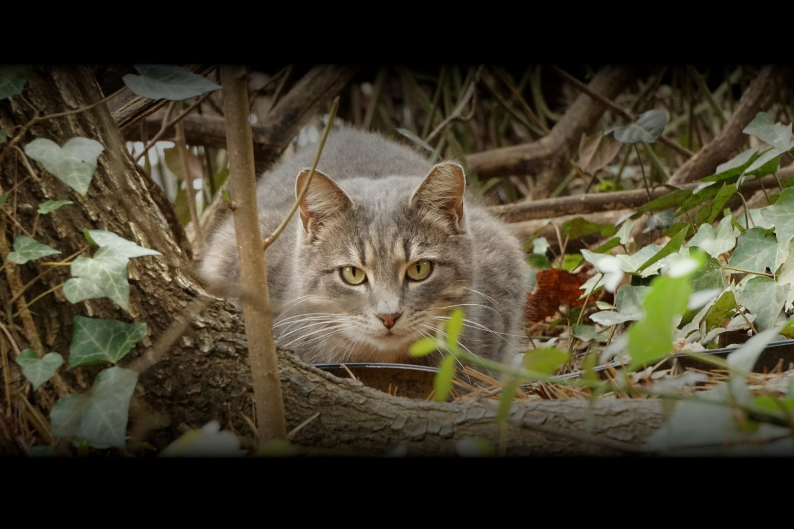 This is a brown tabby cat with the telltale ear-tip looking at the camera from under the brush