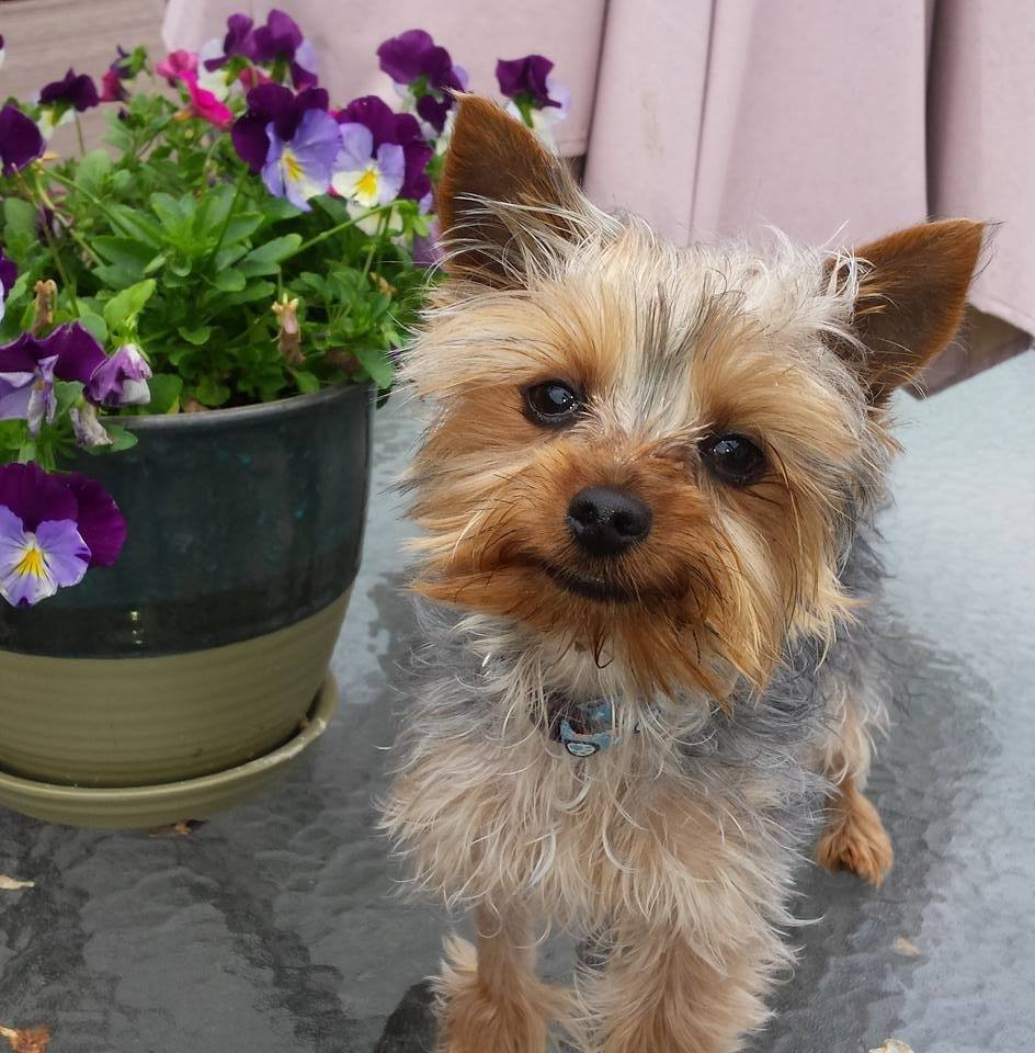yorkie rescues welcome save a yorkie rescue 316