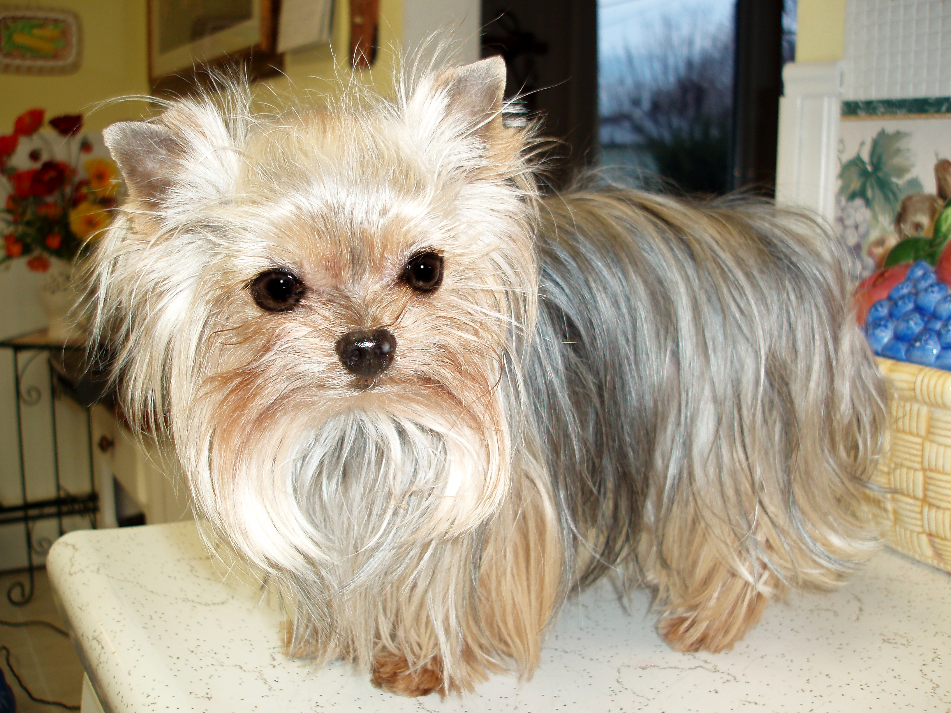 Displaying 20 gt  Images For - I Miss You Yorkie   I Miss You Yorkie