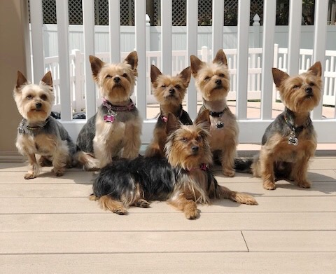 Teacup Yorkie Behavior