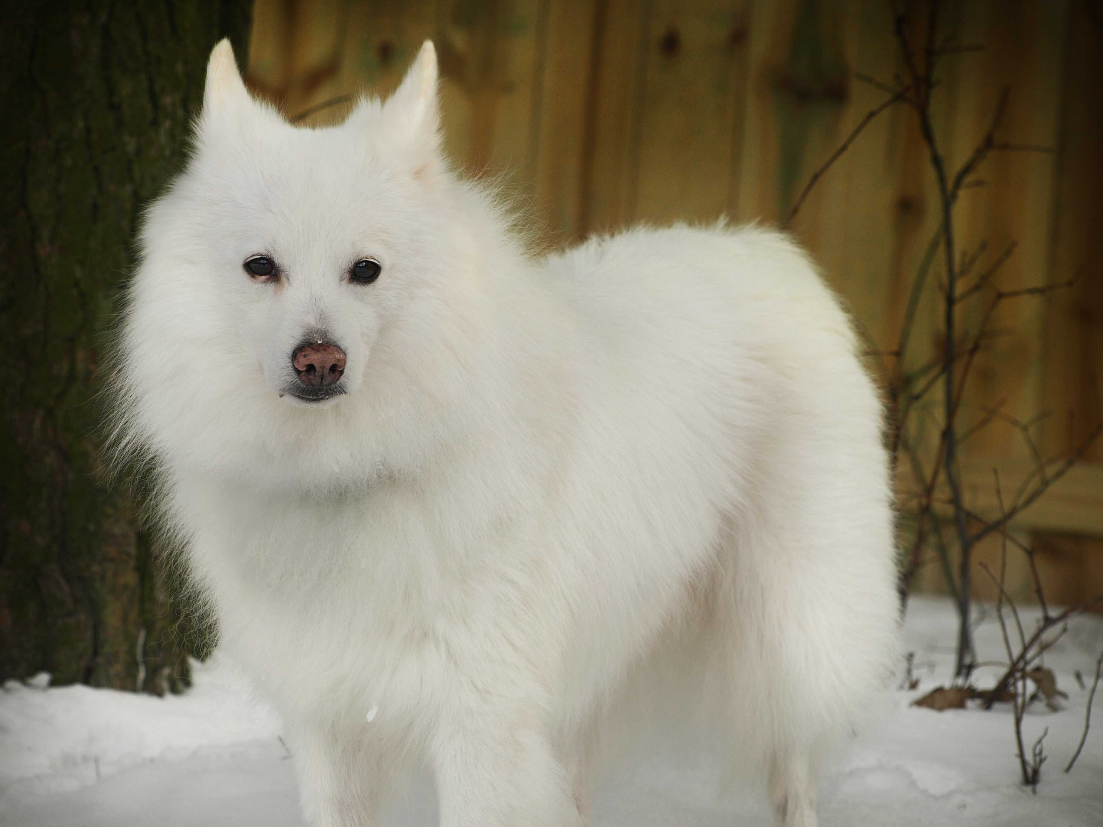 Snowball P