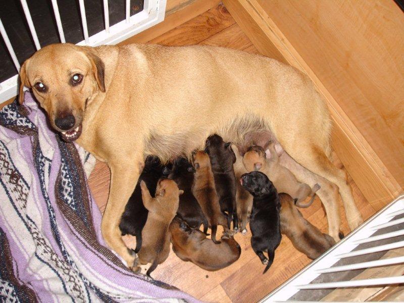 Lab Mom