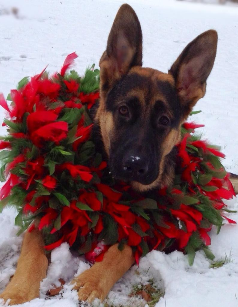 Xmas - GSD in snow w. wreath