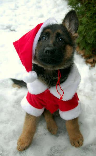 Xmas - pup in outfit