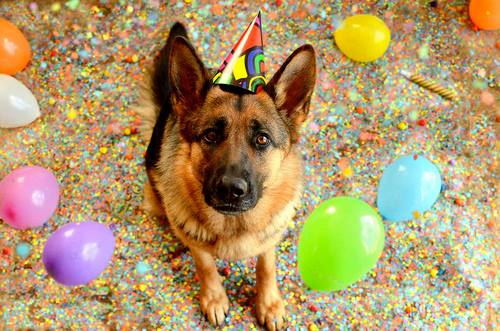 New Year's - GSD w. party hat, balloons
