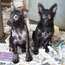 EPIDEMIC - 2 mange pups