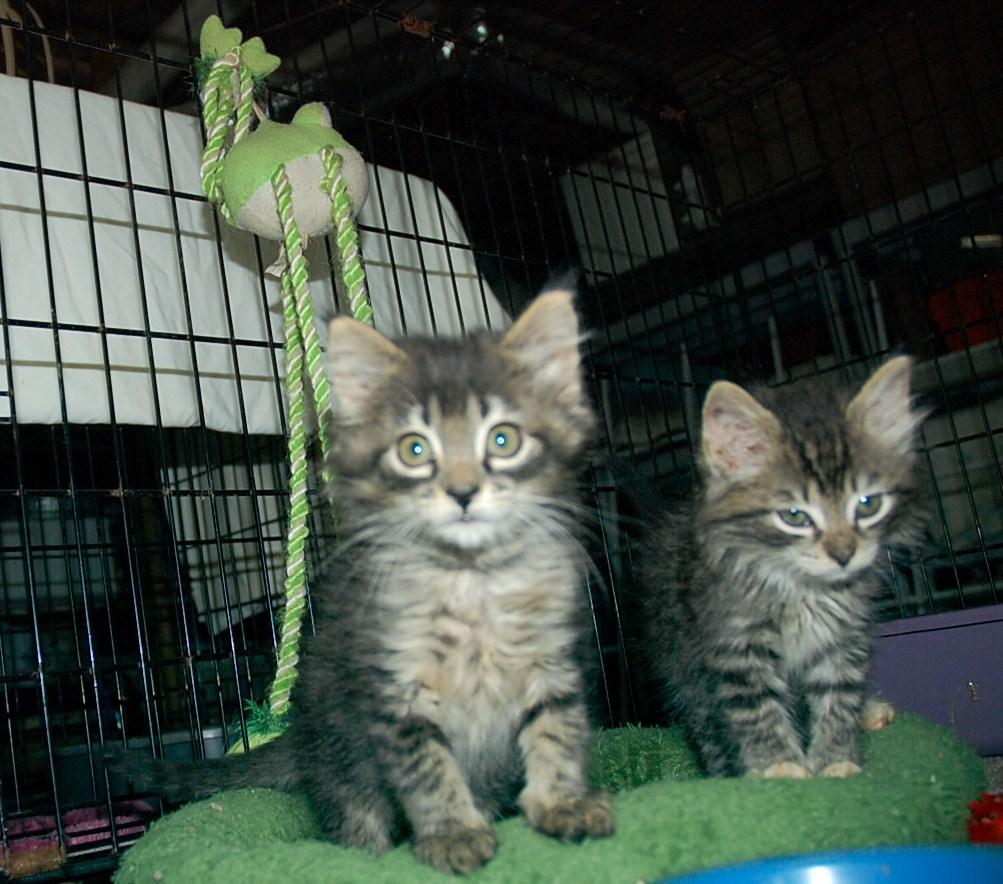 fluffy tabby kittens