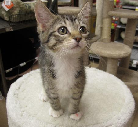 Pet of the Week - Jenny the kitten