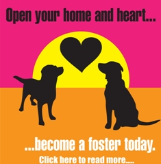 Lab and Friends Foster a dog AD