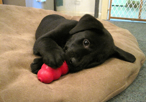 Image result for dog and kong