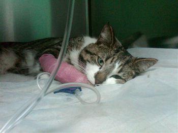 Injured Cat