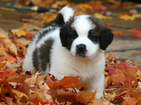 DogInLeaves
