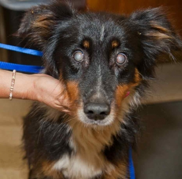 Loss Of Vision And Blindness In Your Dog
