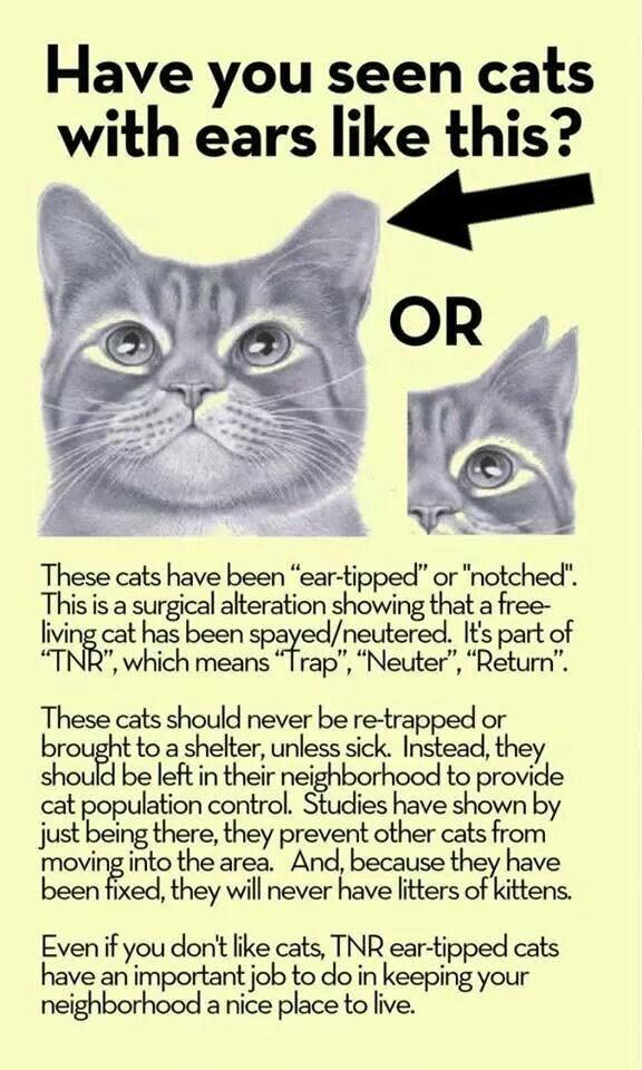 Ear-Tipped Cats: What Does it Mean?