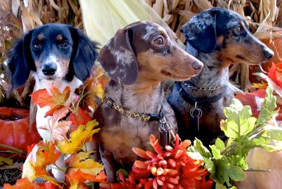 Fall Doxies