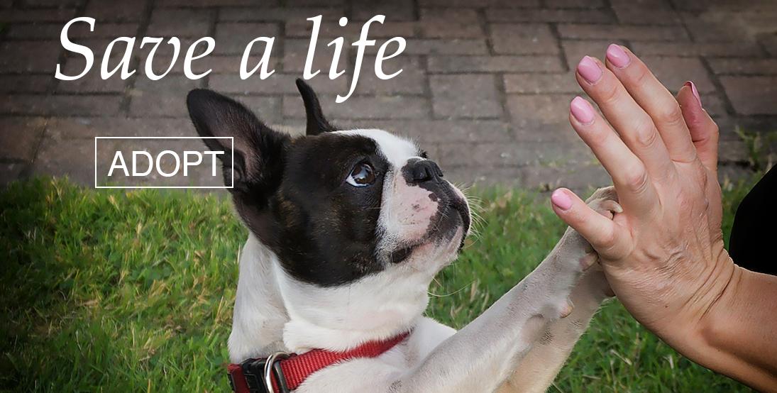Arizona Boston Terrier | Adopt