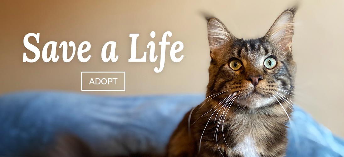 Only Maine Coons - Adopt