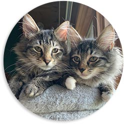 Foster with Only Maine Coons Rescue